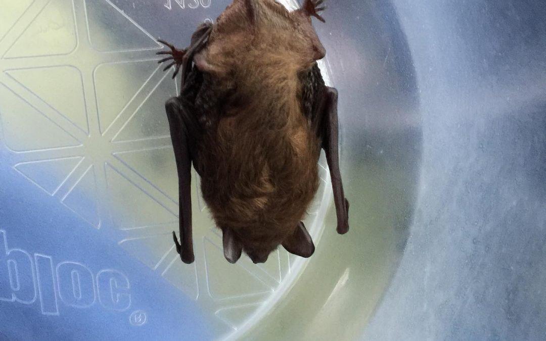 Westport CT Bat Removal