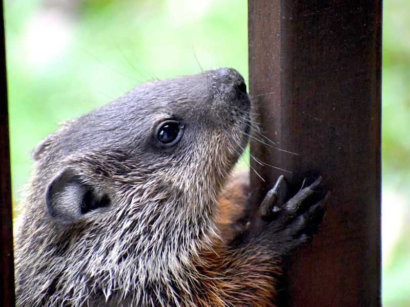 Stamford Wildlife Control Experts groundhog trappers are here to help 24/7/365.