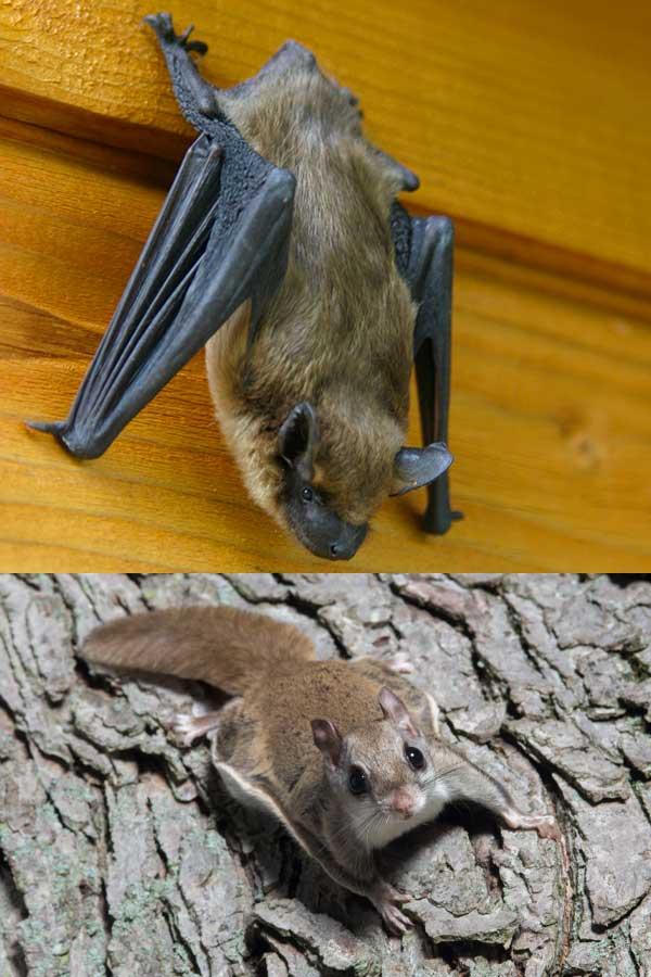 Bats R US LLC bat and flying squirrel exclusion