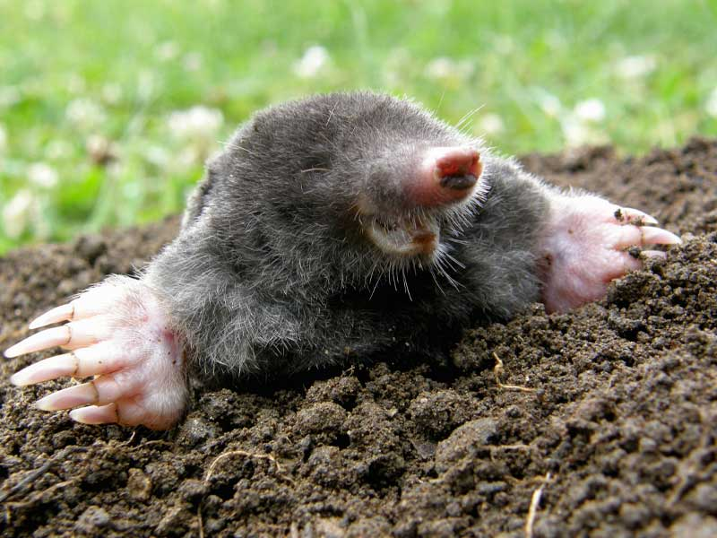 Our Stamford Wildlife Control Experts says no to moles digging up your beautiful lawns.