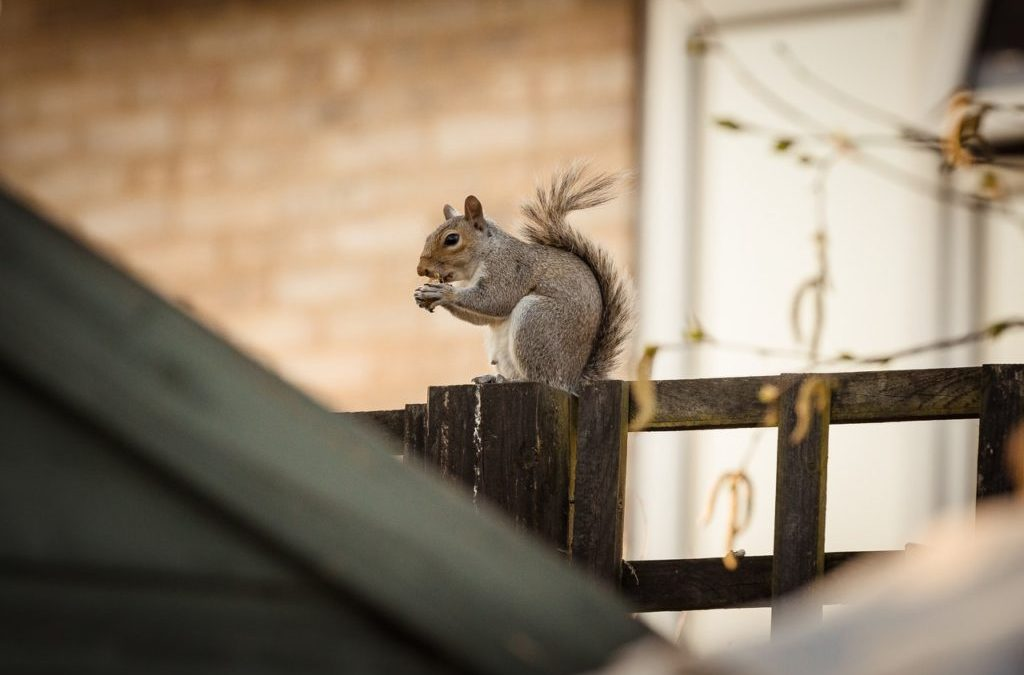 Problems Associated With Squirrel Infestation