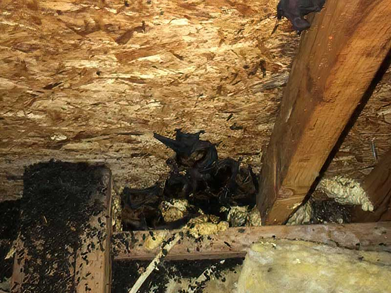 Bats R Us CT attic cleanouts remediation and Trap and Remove All Wildlife In The Attic.
