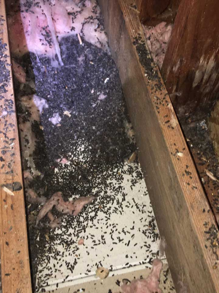 There was feces throughout the insulation in this attic. Our Greenwich Wildlife Control Experts are attic cleanup and decontamination pros.