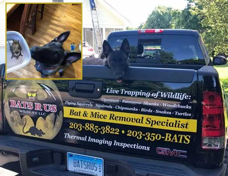 Westport CT Bat Removal has its own bat dog called Nala.